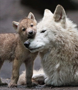 Mother wolf and cub