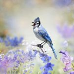 Blue Jay perched in a garden